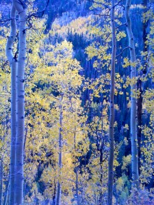 Lovely aspens Peter and I saw last weekend